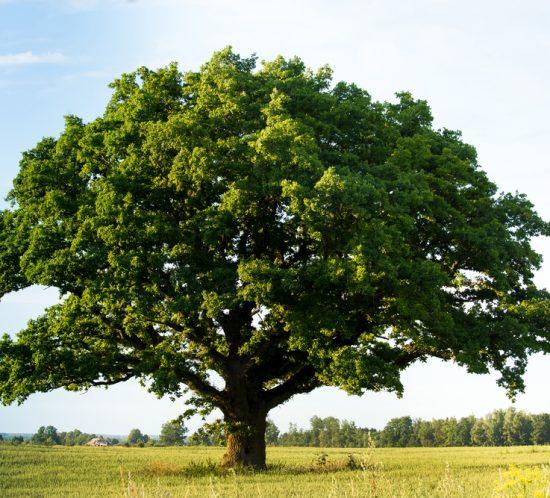 Eiche als Sinnb ild für eine organische, stabile Orgaanisationsentwicklung und einer starken Arbeitgebermarke